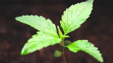 WEED 3 – The Marijuana Revolution – Dr. Sanjay Gupta