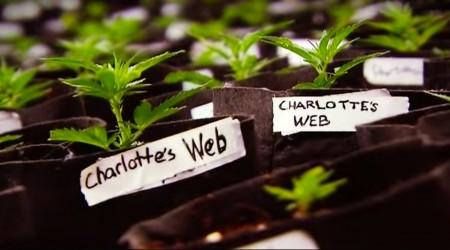 WEED 2 – Cannabis Madness – Dr. Sanjay Gupta Reports