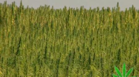 The Magic Weed – History Of Marijuana