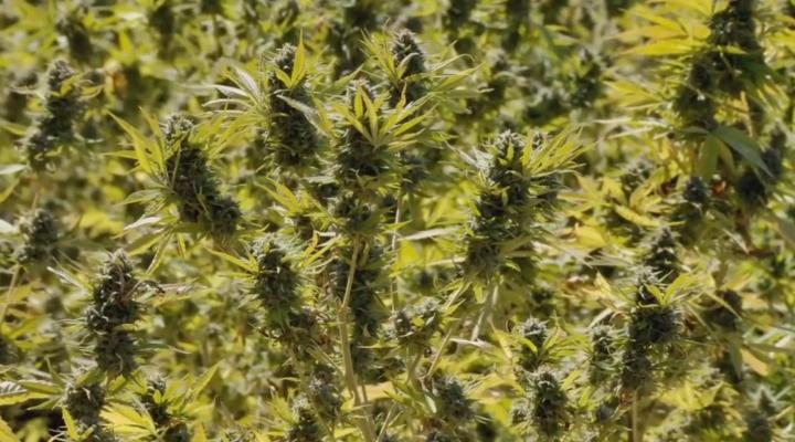 The Scientist Medical Marijuana Documentary